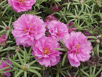 Moss Rose, drought resistant annuals
