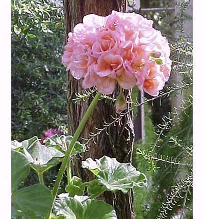 Common Geranium, drought resistant annuals