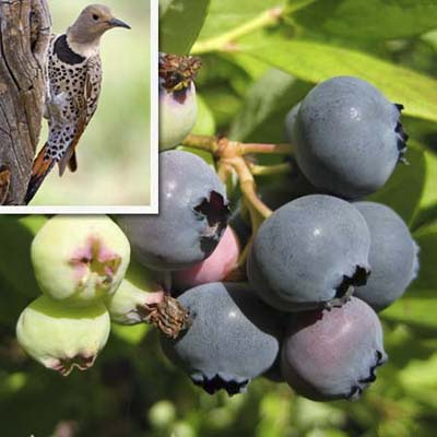 the highbush blueberry will attract flickers, Cedar Waxwings, bluebirds, woodpeckers, and other fruit-eaters