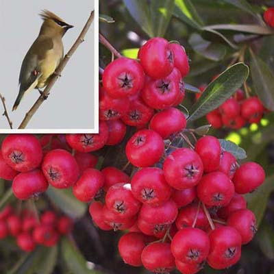 Scarlet Firethorn can attract the cedar waxwing songbird