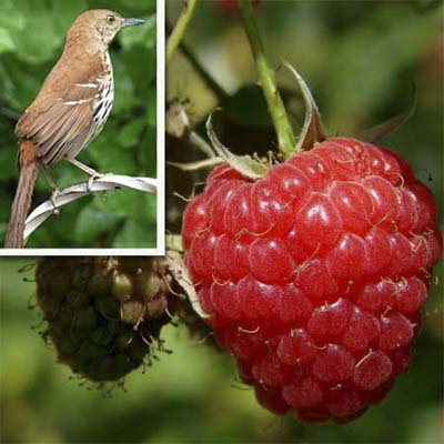 the perennial american red raspberry will draw thrashers, robins, Cedar Waxwings, mockingbirds, wrens, flickers, and other fruit-eating birds