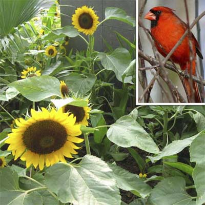 sunflower and cardinal