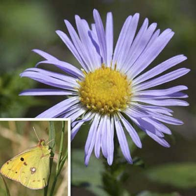clouded sulphur (inset); purple aromatic aster flower