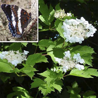 black, white, blue and red butterflies; shrub with small white flowers