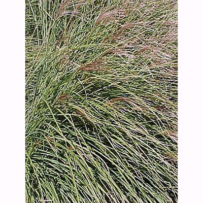Maiden Grass, drought resistant ornamental grasses