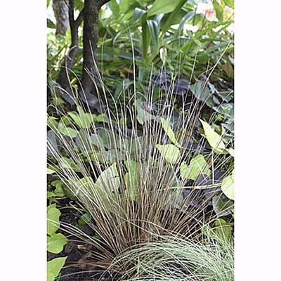 Leatherleaf Sedge, drought resistant ornamental grass