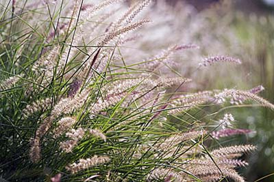 Oriental Fountain Grass, drought resistant ornamental grasses