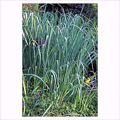 Blue Panic Grass, drought tolerant ornamental grasses