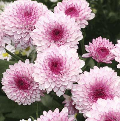 pink blooms of pompon mums