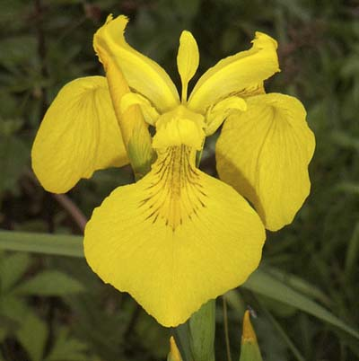 yellow, three-petaled irises