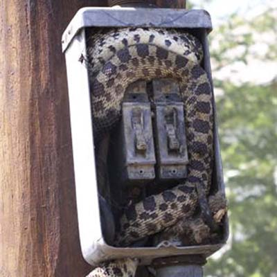 large snake who climbed into an electrical box after a mouse