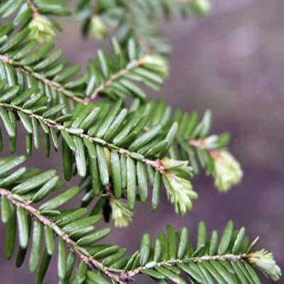 canadian hemlock - choice for live christmas tree