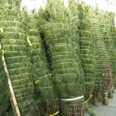 a row of tied christmas trees that were put through a baling machine
