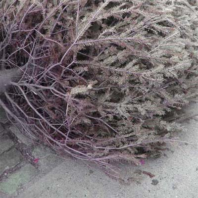 old christmas tree waiting for trash removal