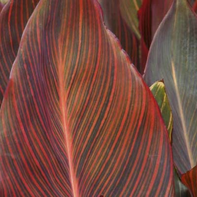 red and green canna leaves
