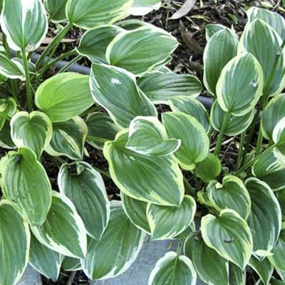 Plantain Lily Best Plants For Colorful Foliage This