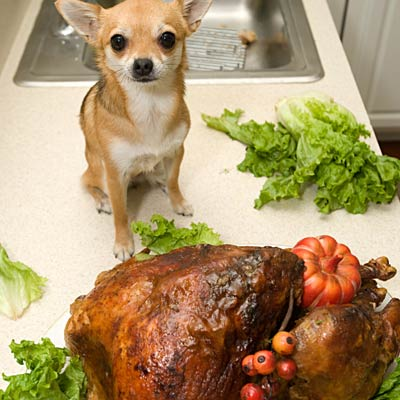 small dog about to eat large turkey dinner