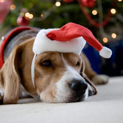 sick dog after eating christmas chocolate