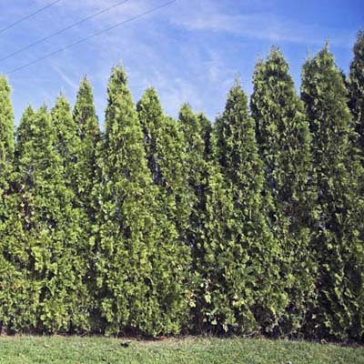 leyland cypress privet hedge plant