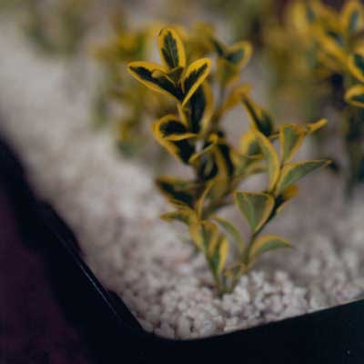 plant cuttings in container of perlite
