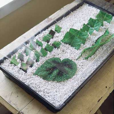 leaf sections in tray of perlite