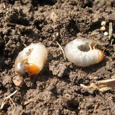 white grubs, lawn pests