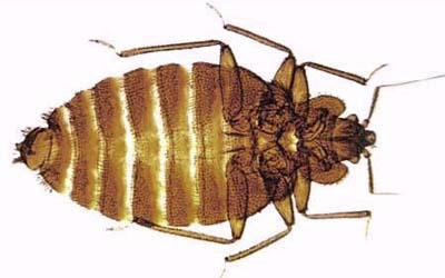 adult bedbug specimen