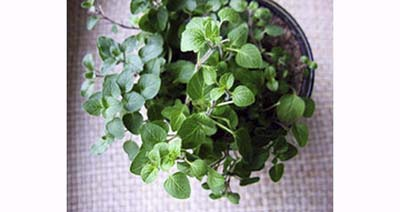 Indoor potted oregano for fighting disease