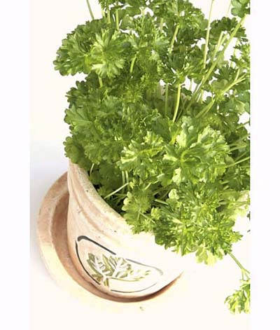indoor potted parsley rich in vitamins