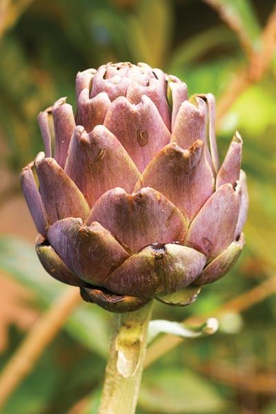 Garden Harvest: Artichoke