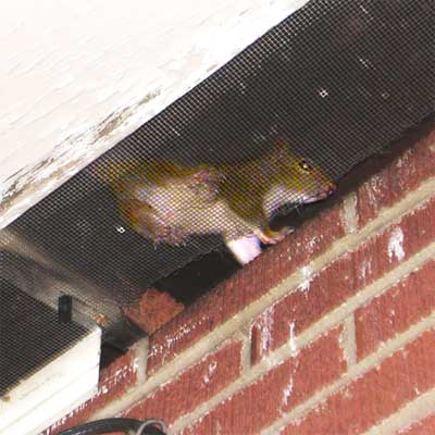 squirrel visible in the attic from outside