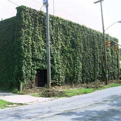 commercial building exterior entirely covered by vines