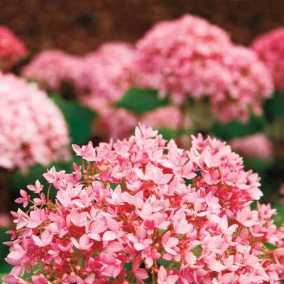 pink 'Bella Anna' hydrangeas