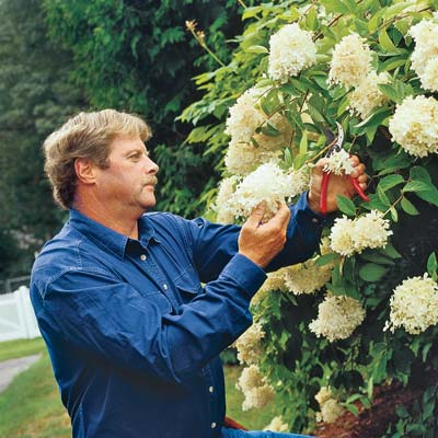 Roger Cook pruning hydrangeas