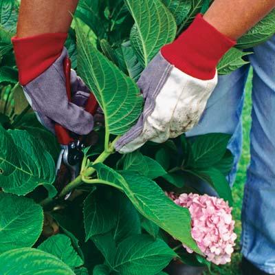 taking a cutting of a hydrangea leaf