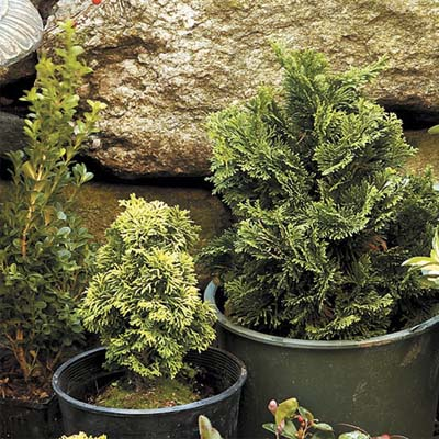 small conifer plants for winter
