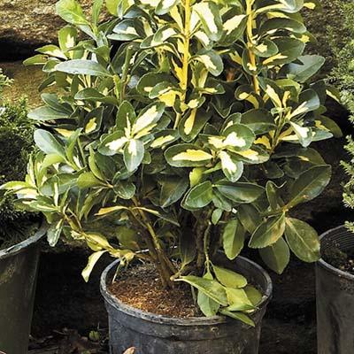 'Golden Maiden' evergreen plants for winter