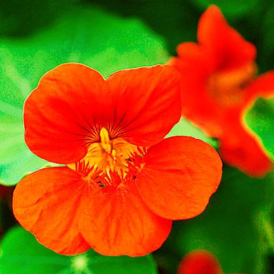 nasturtium edible flower