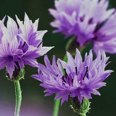 Cornflower edible flower