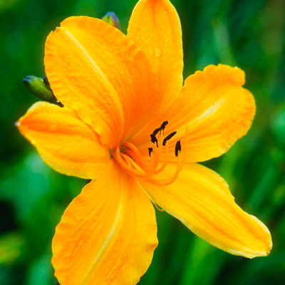 Daylilies edible flower 