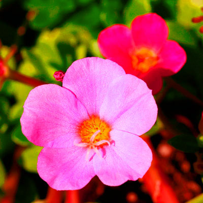 Portulaca edible flower 