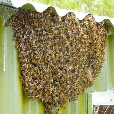 honeybee nest
