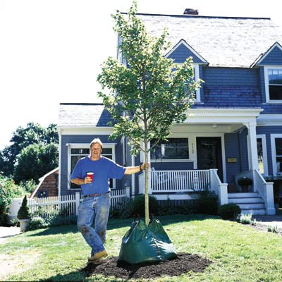 man standing beside newly planted deciduous tree in yard in front of house
