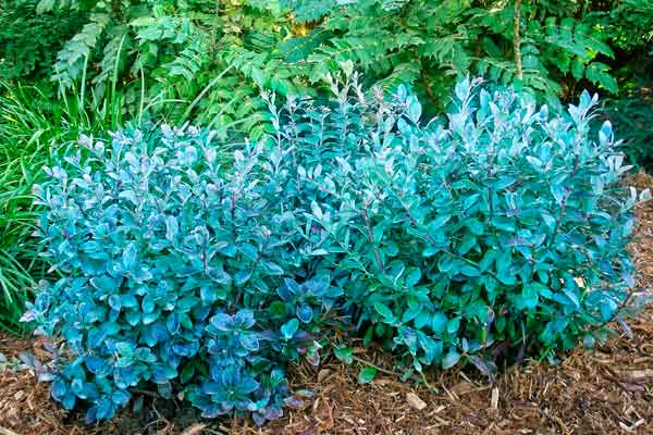 Top 100 Products 2012 outdoor living blueberry plant