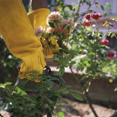 how to prune roses when dividing and pruning plants