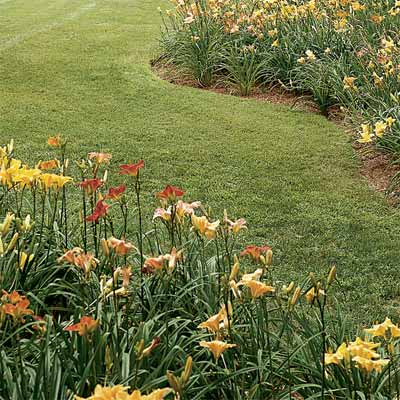 How to Divide Daylilies when dividing and pruning plants