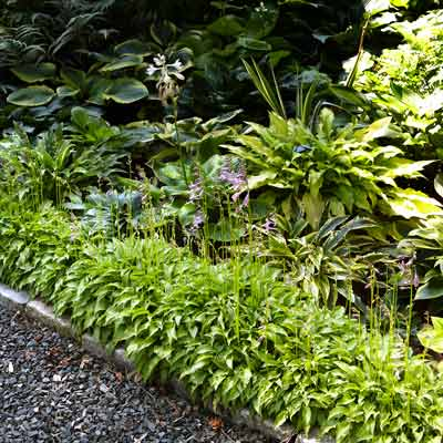 'Lemon Lime' and 'Pineapple Juice' hostas line a walkway