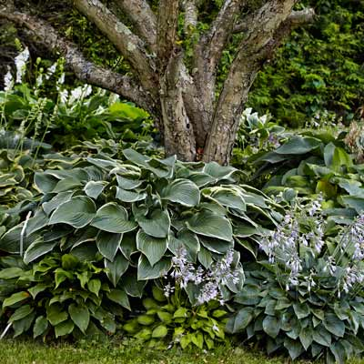 'Tom Schmid' and other shade-tolerant hostas around tree tunk