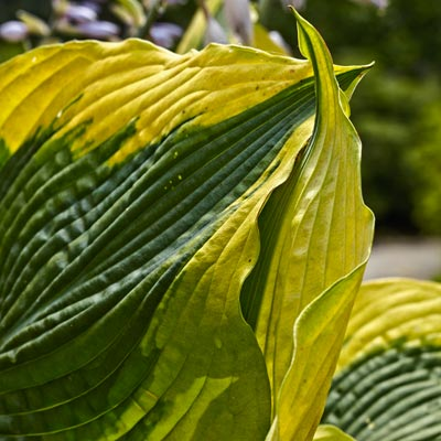 'Atlantis' hosta