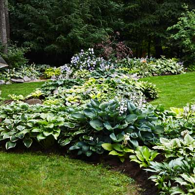 hosta borders for lawn